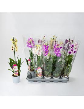 Дендробіум (орхідея) 11*60 Sa-nook мікс