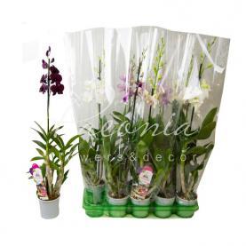 Дендробіум (орхідея) 11*75 Sa-nook мікс