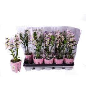 Дендробіум (орхідея) 12*50 Nobille білий з рожевим краєм