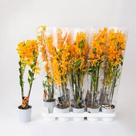 Дендробіум (орхідея) 12*55 Nobile помаранчевий
