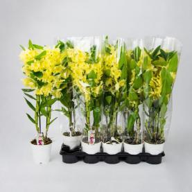 Дендробіум (орхідея) 12*45 Nobille жовтий