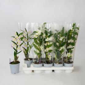 Дендробіум (орхідея) 12*50 Nobille білий