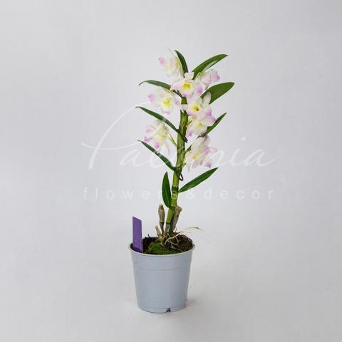 Дендробиум (орхидея) 12*55-60 Nobille белый