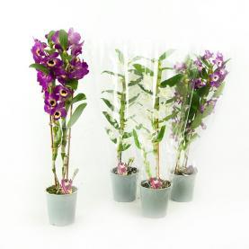 Дендробіум (орхідея) 12*70 Nobile мікс
