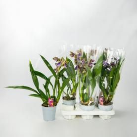 Зігопеталум (орхідея) 12*40 Louisendorf