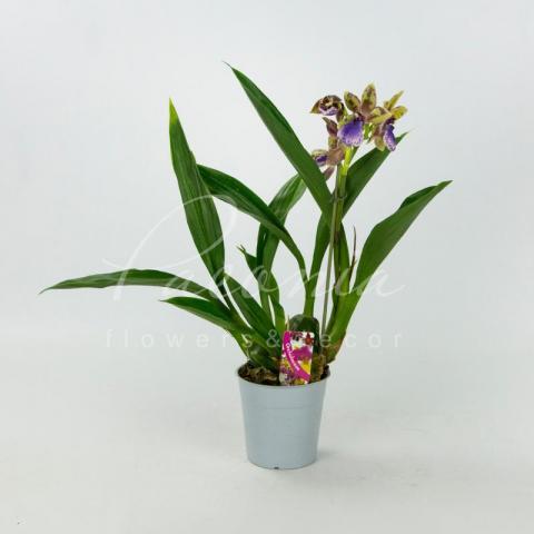 Зігопеталум (орхідея) 12*45 Louisendorf