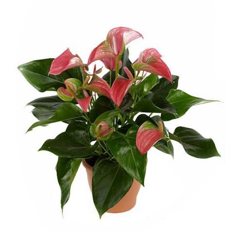 Антуріум 14*50 рожевий Joli