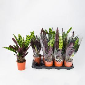 Калатея 14*35 Lancifolia