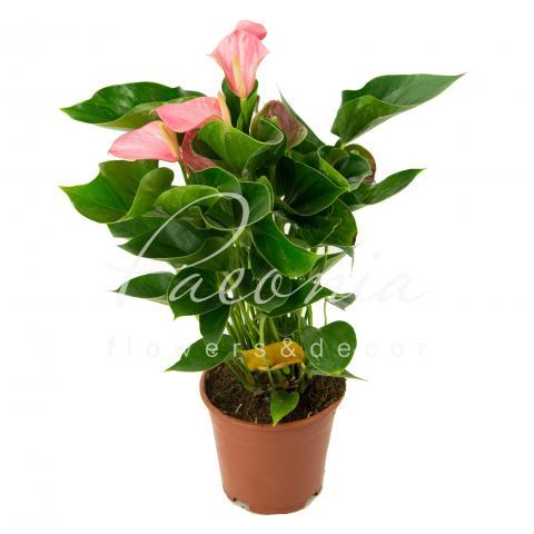 Антуріум 14*60 рожевий Anthedesia