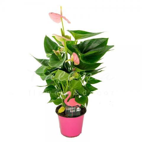 Антуріум 14*60 рожевий Jambo