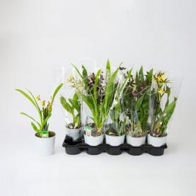 Камбрія (орхідея) 12*40 мікс
