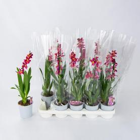 Камбрія (орхідея) 12*40 червона Burrageara Barrocco ароматна