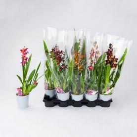 Камбрия (орхидея) 12*55 микс