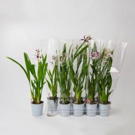 Камбрія (орхідея) 12*50 Beallara Morning Joy