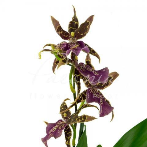 Камбрия (орхидея) 12*55 Brassia Summer Dream