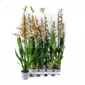 Камбрія (орхідея) 12*80 мікс