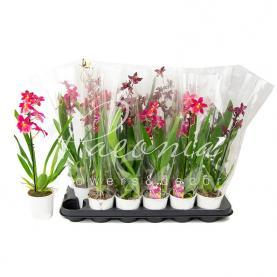 Камбрія (орхідея) 9*35 мікс