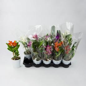 Каттлея (орхідея) 12*35 мікс