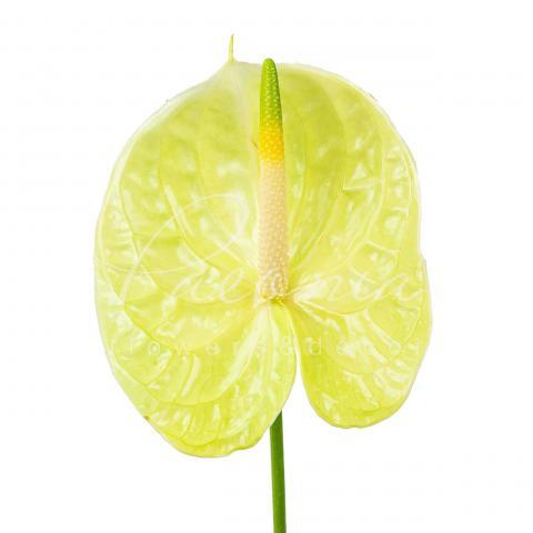 Антуріум Lemona Ø11см
