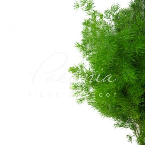 Аспарагус Umbellatus 35см (ціна за 1 пучок)