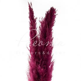 Сухоцвіт кортадерія пофарбована бордова 130 см