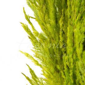 Сухоцвіт кортадерія пофарбована Зелена 110 см