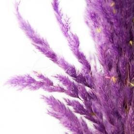 Сухоцвіт кортадерія пофарбована лавандова 110 см