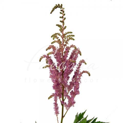 Астільба Gloria Purpureа фіолетова 70см