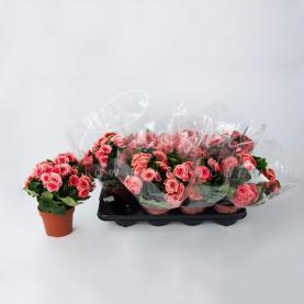 Бегонія 13*30 рожева Borias (Decorum)