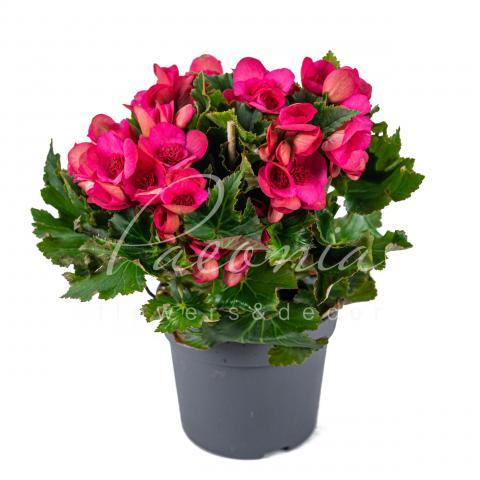 Бегонія 12*30 яскраво-рожева