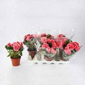 Бегонія 14*30 рожева Borias