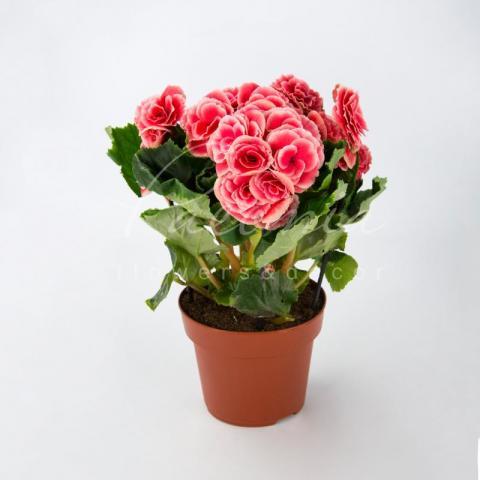 Бегонія 13*30 рожева Borias