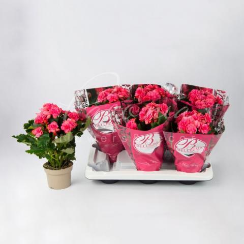 Бегонія 13*30 рожева Dreams Chloe Coral