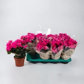 Бегонія 13*30 рожева Berseba (Decorum)