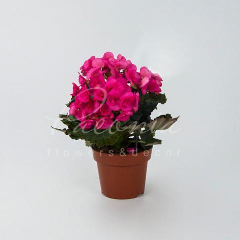 Бегонія 14*30 рожева Berseba