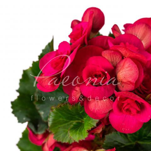 Бегонія 14*40 рожева Serena