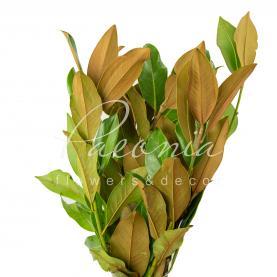 Магнолія італійська гілкі з листям 60см (ціна за 1 пучок)