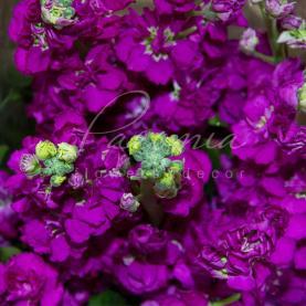 Матіола Incana фіолетова 60см