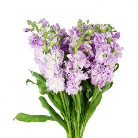 Маттиола Light Lavender нежно-лавандовая 60см