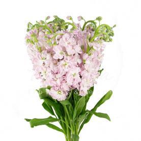 Маттиола Light Pink нежно-розовая 60см