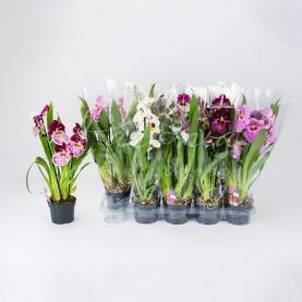 Мільтонія (орхідея) 12*40-45 мікс