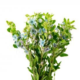 Оксіпеталум Coeruleum Pure Blue 40см