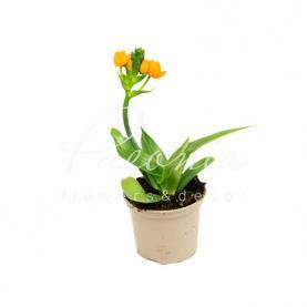 Орнітогалум 12 * 25 помаранчевий