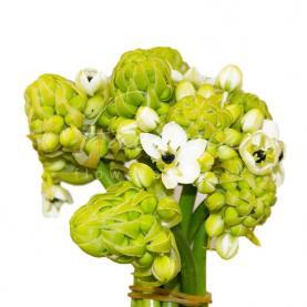 Орнітогалум Arabicum Saunders білий 80см
