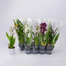 Орхидеи 12*30 микс