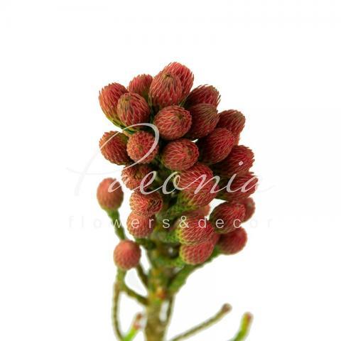 Брунія Laevis Red 35см