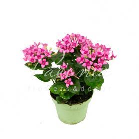 Бувардія 12 * 25 рожева Royal Daphne Fresco