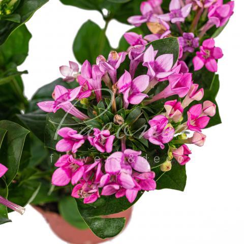 Бувардія 12*25 рожева Royal Roza