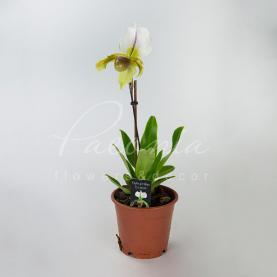 Пафіопеділум (орхідея) 12*40 білий з жовтою губою