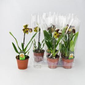 Пафіопеділум (орхідея) 12*40 великоголовий Amerikaanse Hybride